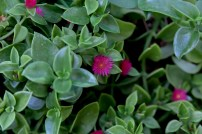 Aptenia cordifolia 1