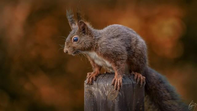 Squirel Eichhörnchen