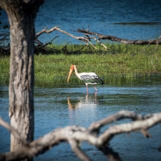 Buntstorch im Yala Nationalpark