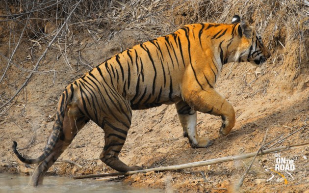 The arrogant and mean stride of a big male tiger from Tadoba Tiger Reserve, India