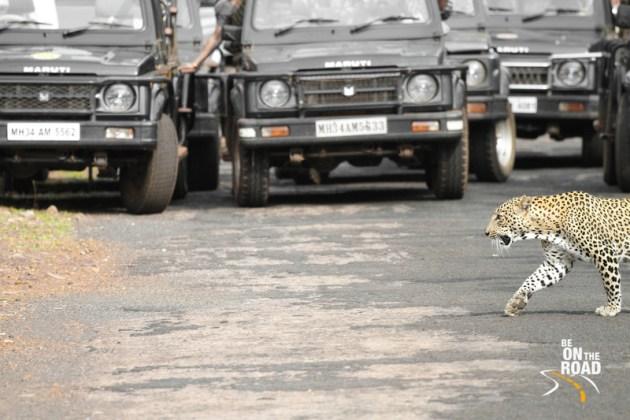 A Tadoba wildlife jeep safari leopard road crossing experience