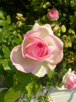 How To Save A Dying Rose Bush Garden Guides