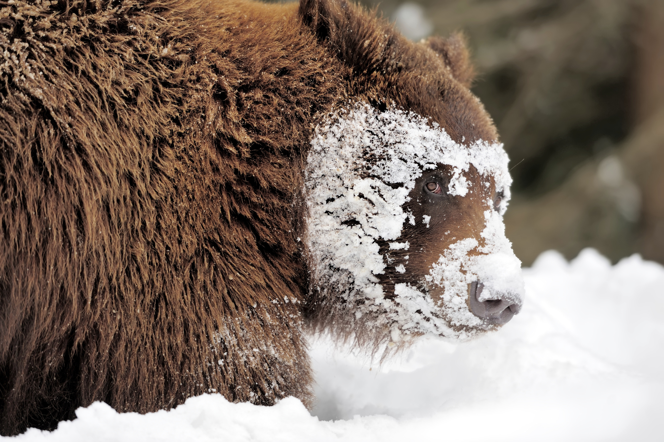 The american black bear kills the elderly and weaklings of. How Do Animals Adapt To The Temperate Rainforest