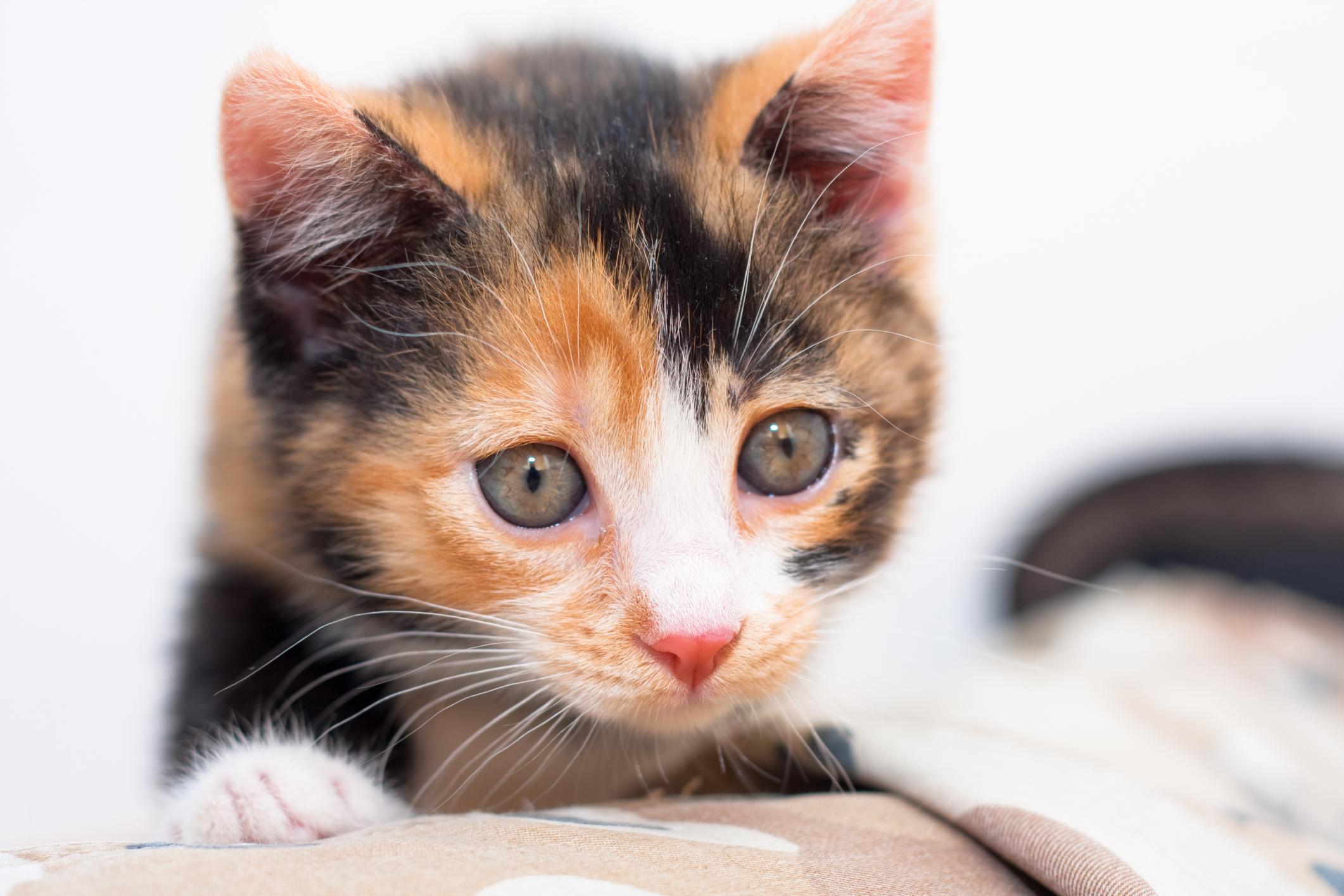 Calico Kittens Personality Amp Training Animals
