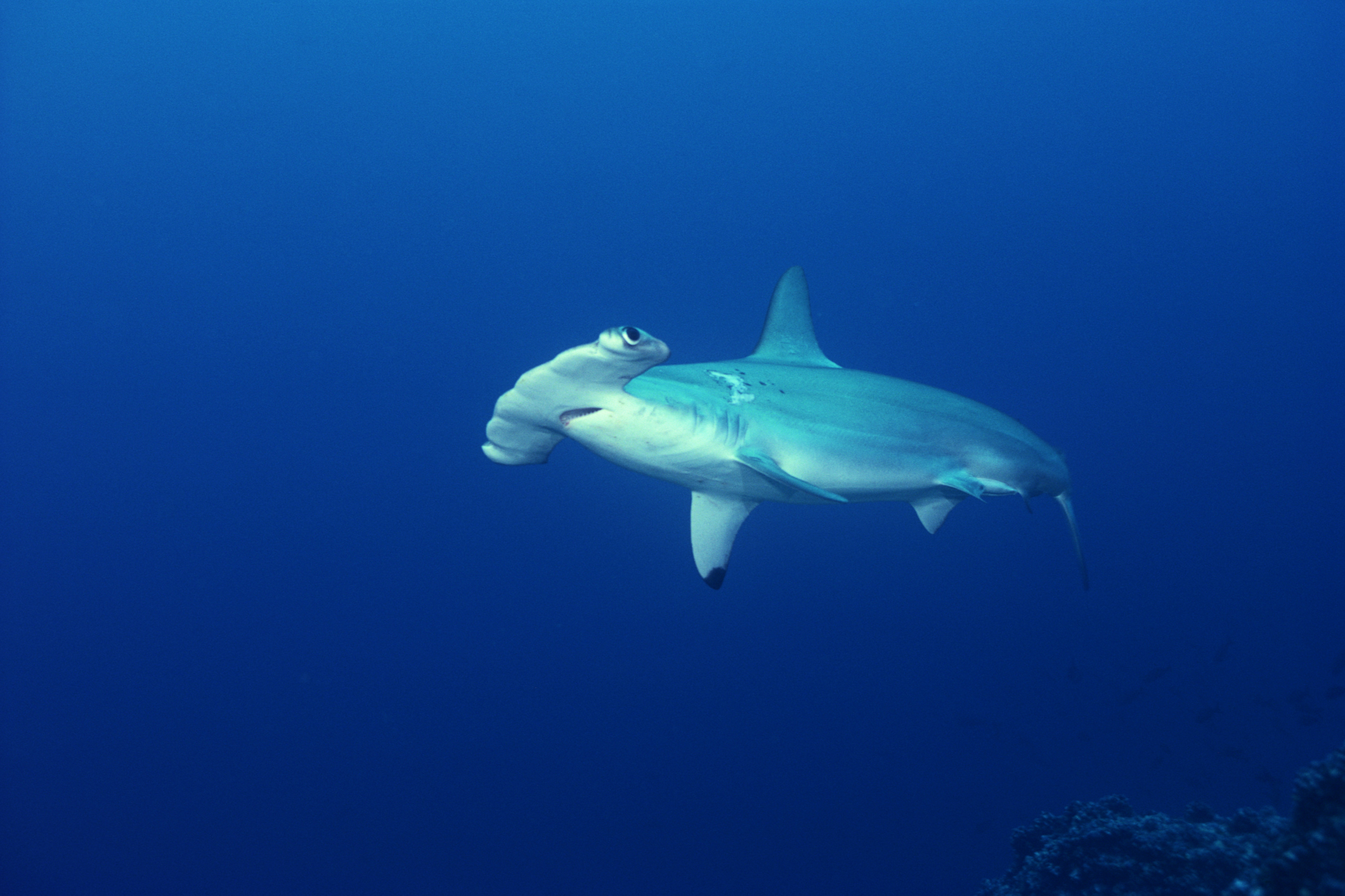 What Is A Hammerhead Shark S Behavior Like