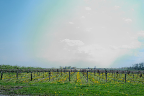 Neat to see rows of dandelions in this vinyard.