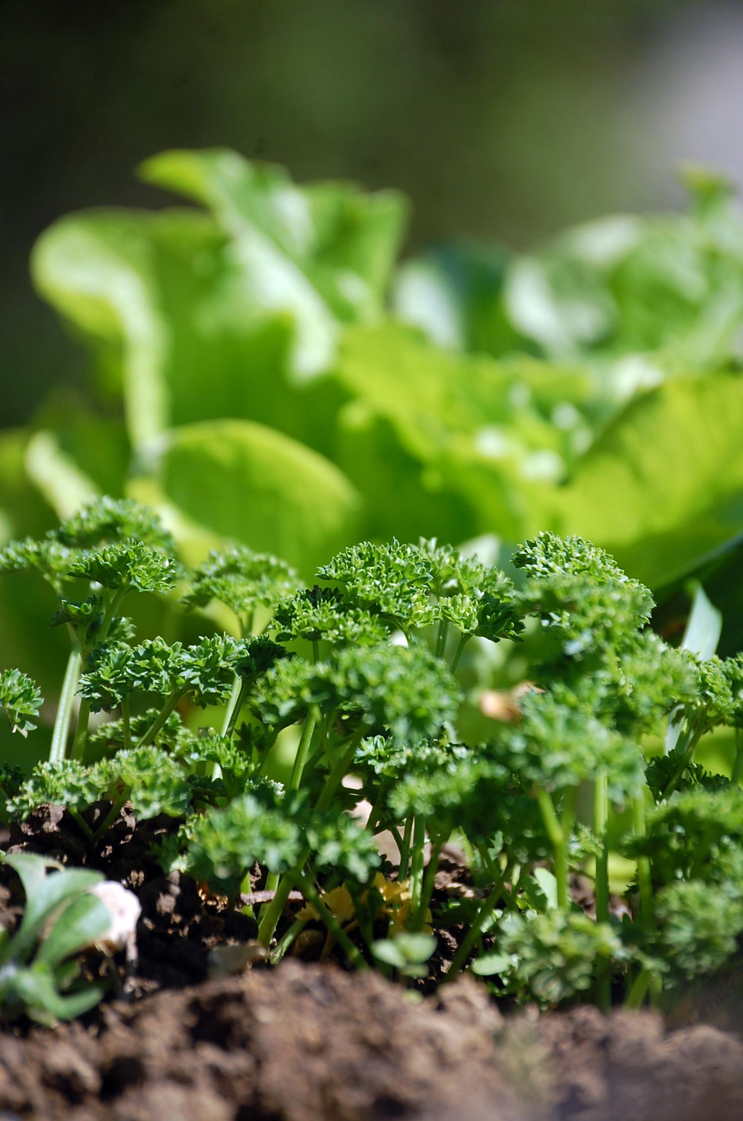 Terre fertile, persil et salade verte