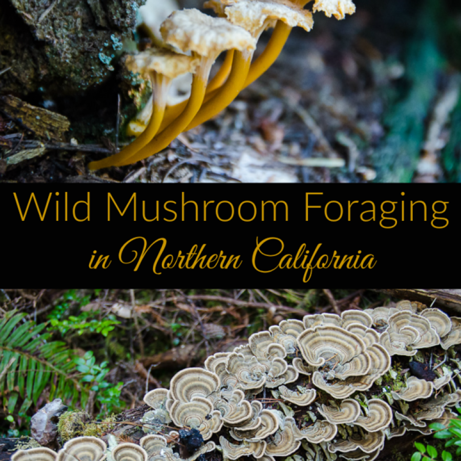 Learning to identify edible mushrooms! An edible wild mushrooms identification course on the Northern California coast.