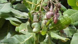 Les anacardes : la noix de cajoux