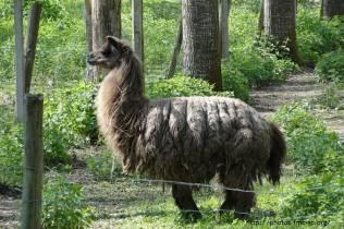 Surprise sur notre chemin : un élevage de Lama