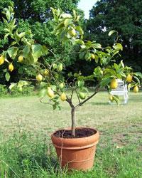 Planter Les Agrumes Orangers Citronniers Gamm Vert