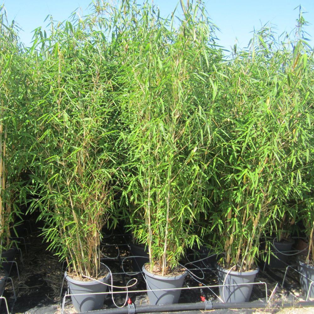 bambou moyen fargesia blue dragon