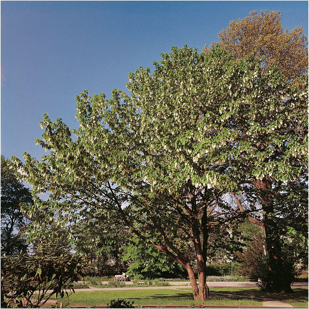 arbre aux mouchoirs vallauris