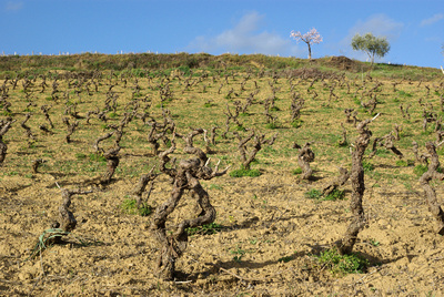 Vineyard in Sicilly