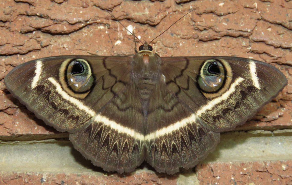 Cream-striped owl moth