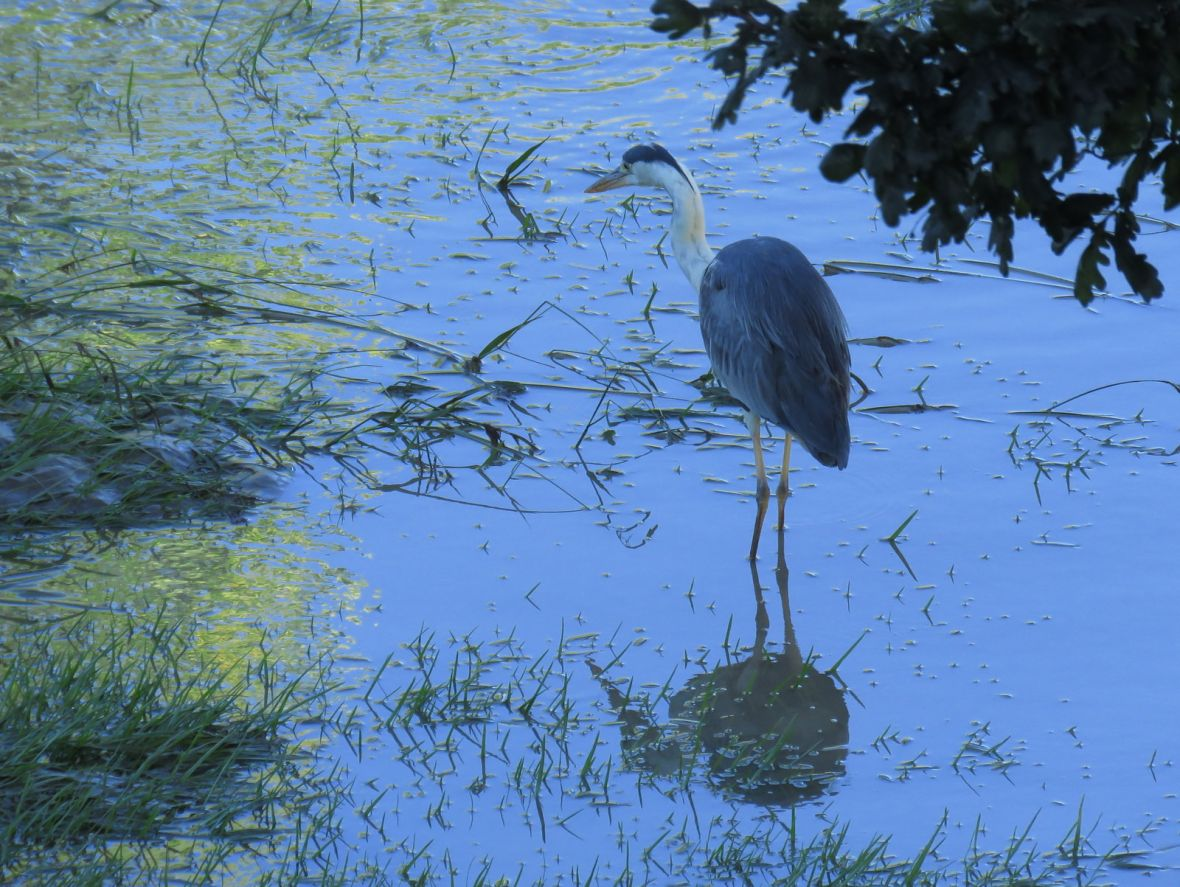 Heron standing in water
