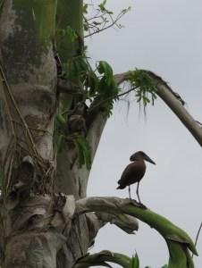 Hamerkop in a palm tree
