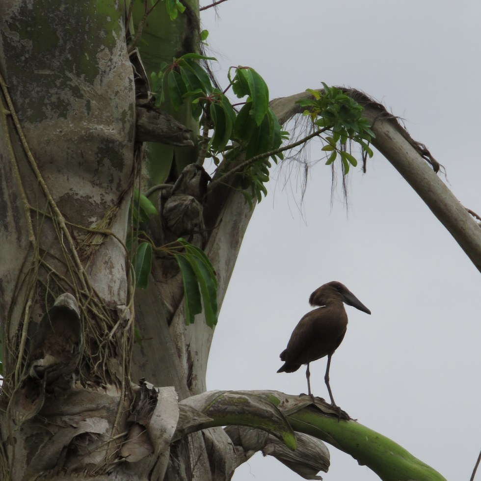 Hamerkop in a palm tree