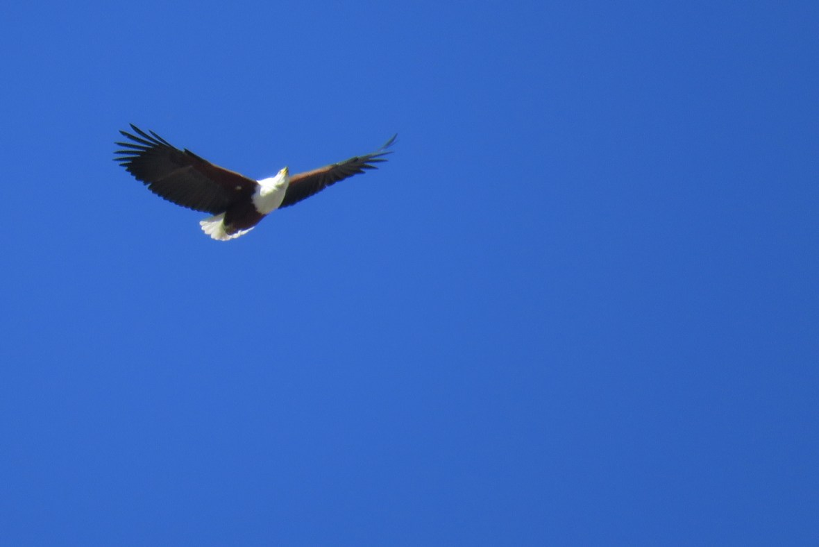 fish eagle in blue sky