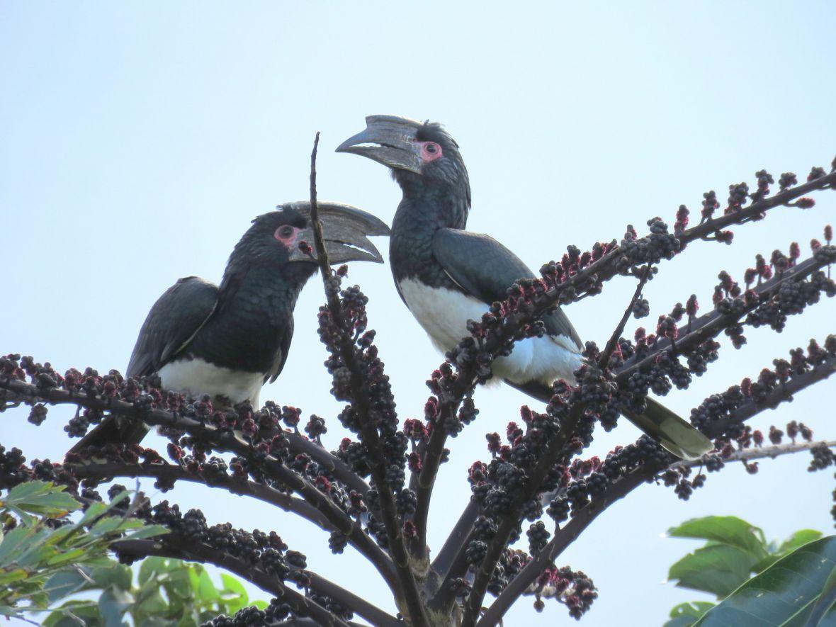 Trumpeter Hornbills