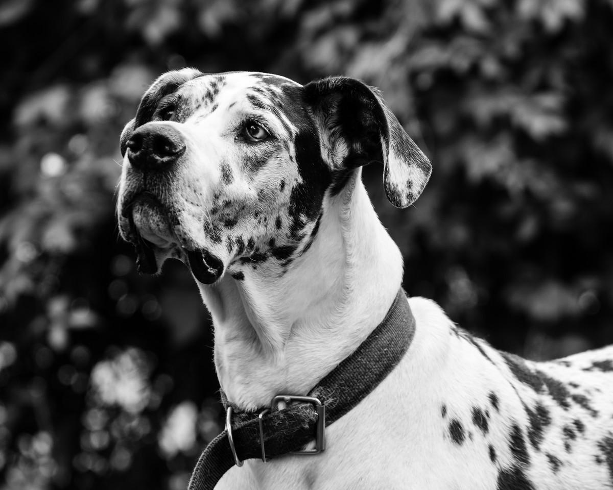Gertie, a Great Dane