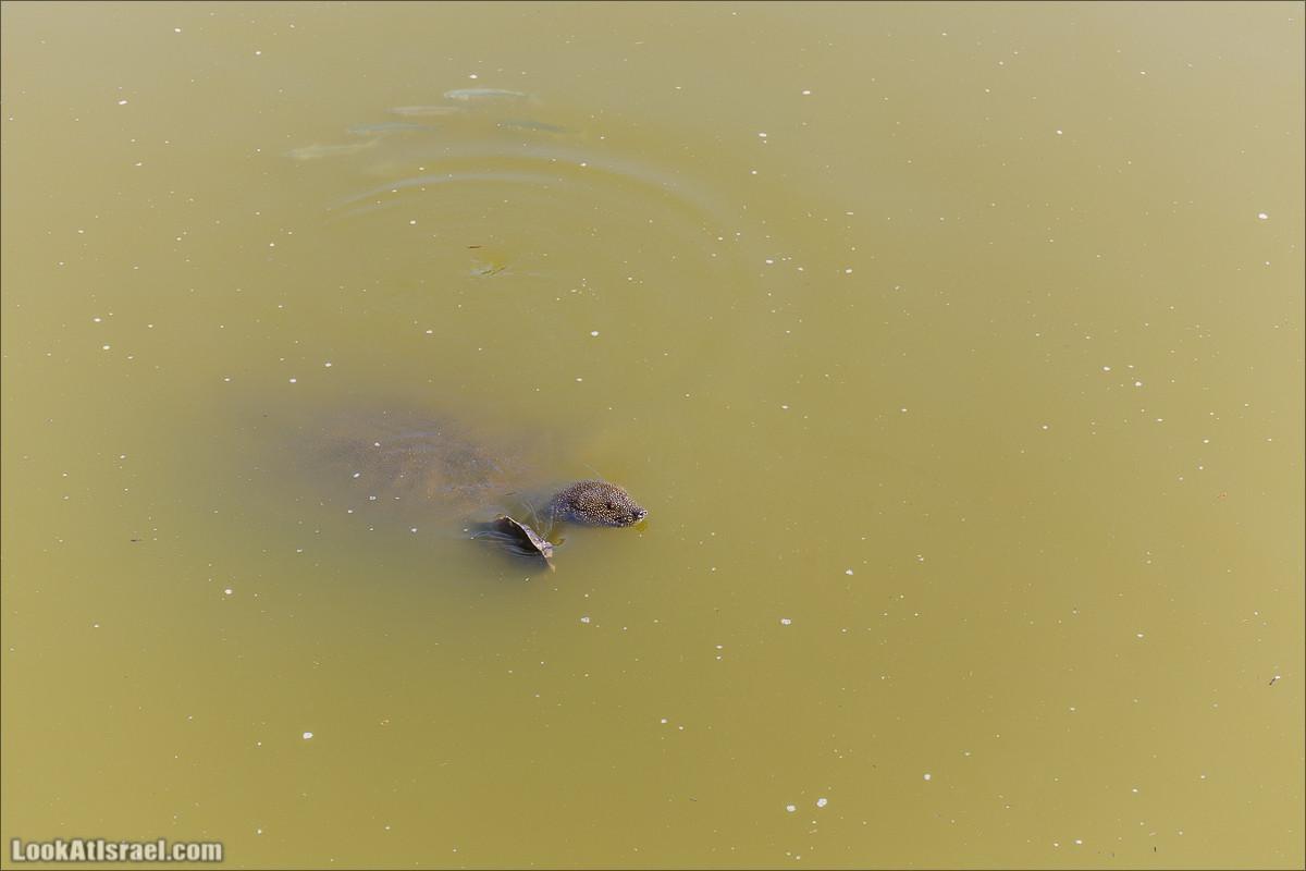 Ручей Александр, черепахи, природа и бездорожье | LookAtIsrael.com - Фото путешествия по Израилю