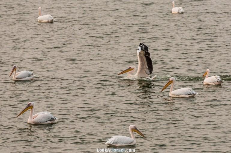Станция наблюдения Викар за пеликанами на озере в долине Хефер | Vikar birds watching | מצפור ויקר | LookAtIsrael.com - Фото путешествия по Израилю