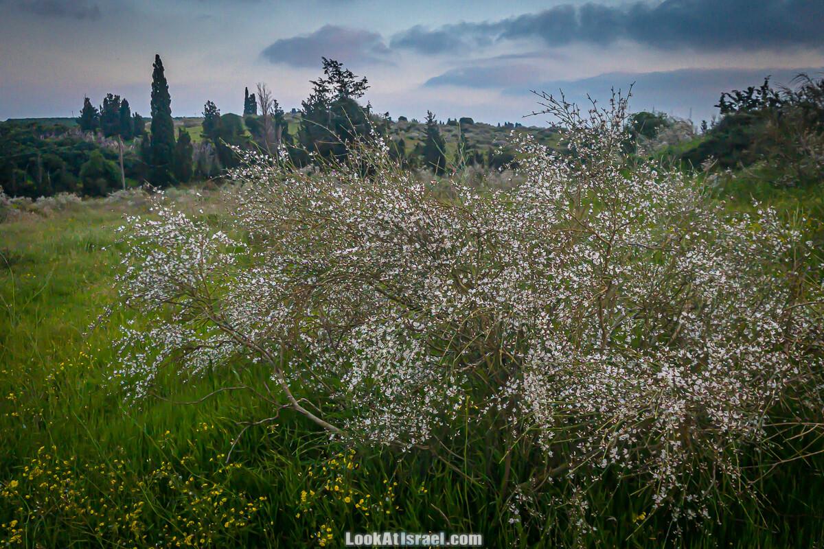 Цветение пурпурных ирисов аргаман на Гиват Хумра, Израиль   פריחה של אירוס ארגמן בגבעת חומרה   LookAtIsrael.com - Фото путешествия по Израилю