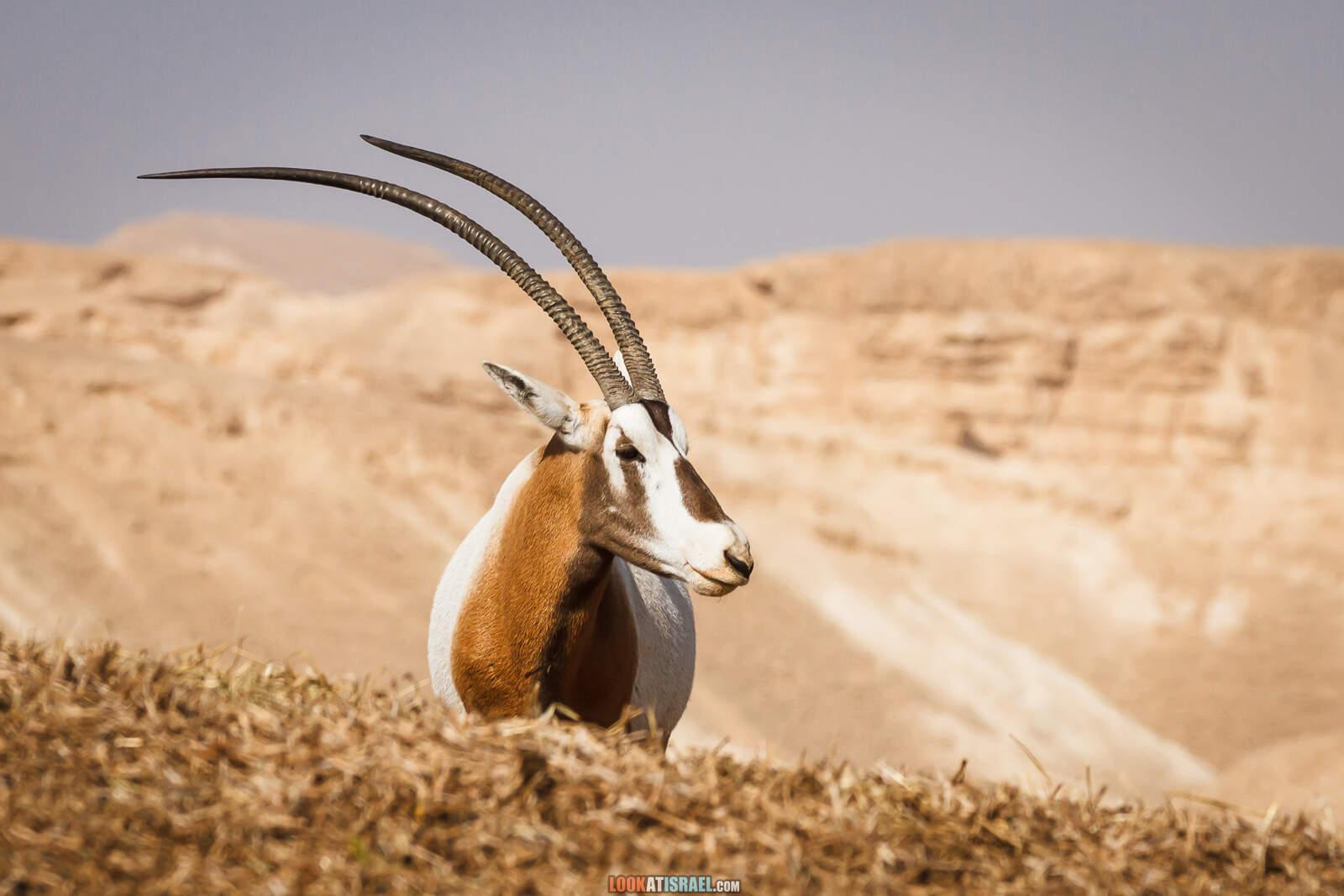 Африка в Израиле - Ферма ранчо антилоп в Араве | Antilope ranch in Arava | חוות האנטיליפות בערבה