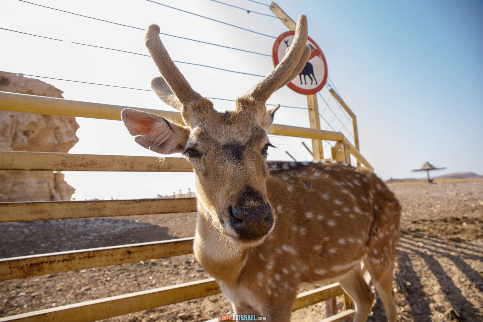 Африка в Израиле - Ферма ранчо антилоп в Араве | Antеlope ranch in Arava | חוות האנטיליפות בערבה | LookAtIsrael.com - Фото путешествия по Израилю