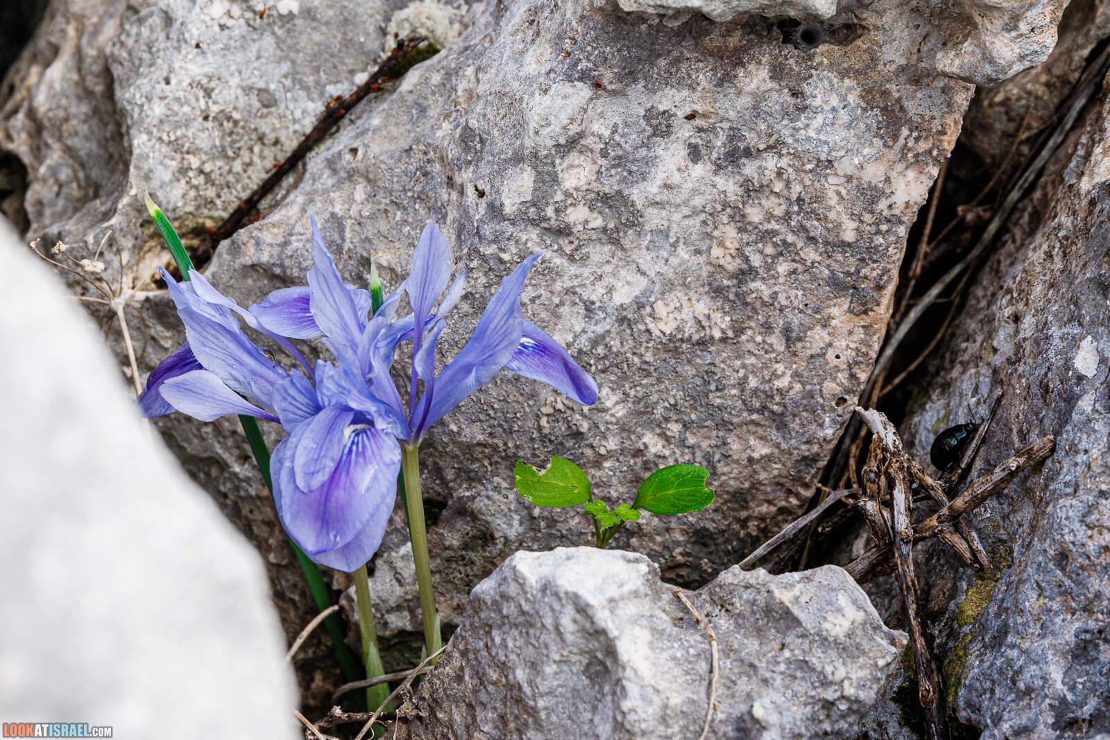 Ирис мечевидный - Iris Vartanii - אירוס הסרגל | LookAtIsrael.com - Фото путешествия по Израилю