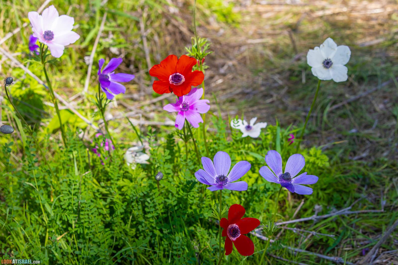 Цветение в лесу Меггидо | LookAtIsrael.com - Фото путешествия по Израилю