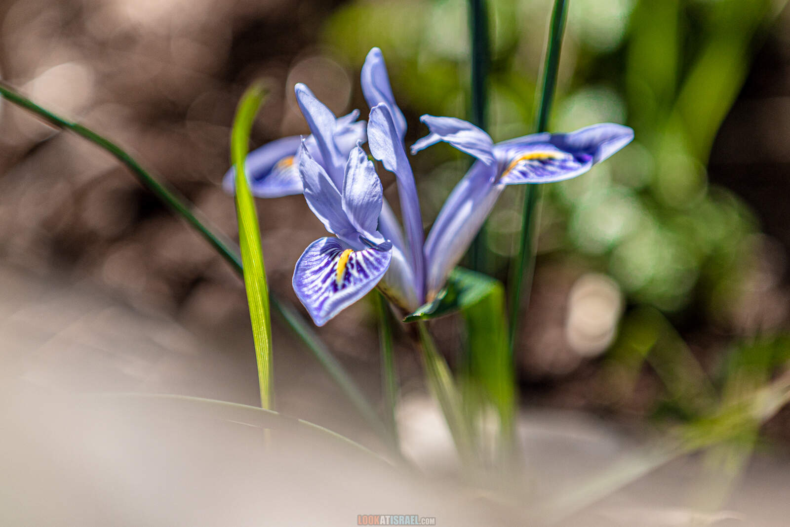 Ирис ливанский на Голанских высотах (Iris histrio) | LookAtIsrael.com - Фото путешествия по Израилю