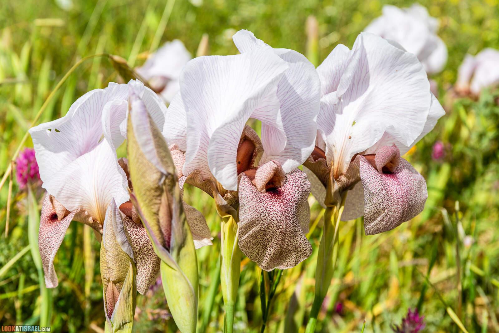 Ирис дорский (Ирис Лорте) - Iris lortetii - אירוס הדוּר - LookAtIsrael.com - Фото путешествия по Израилю