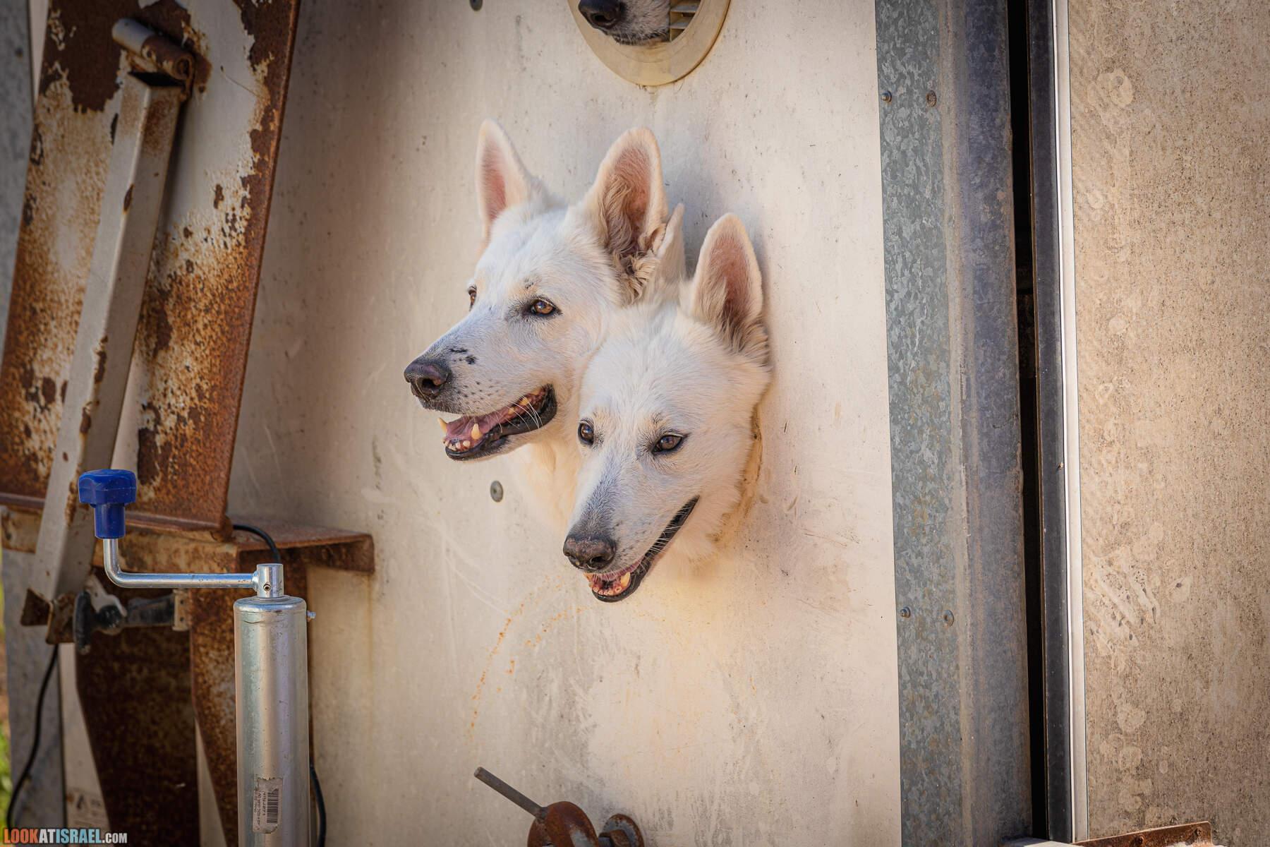 Выставка клуба пастушьих собак - корги кардиган и пембрук, Израиль 2021