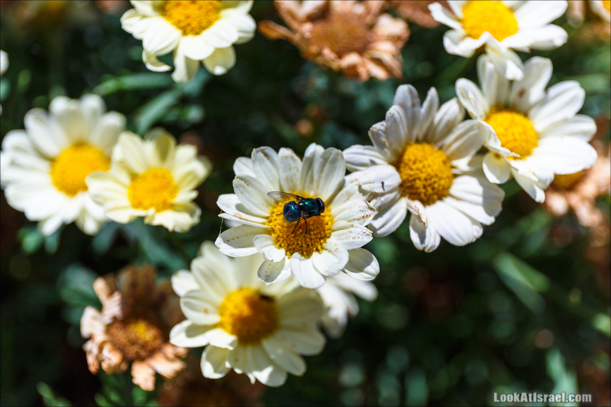 Цветы | LookAtIsrael.com - Фото путешествия по Израилю