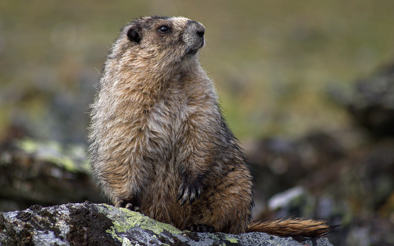 A hoary marmot near the summit of Wickersham Dome in the White Mountain National Recreation Area