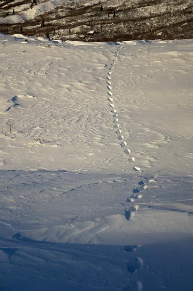 Lynx tracks traversing a moraine on the Castner Glacier into the Castner Creek drainage.
