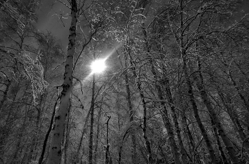 The moon shining through a birch forest at night