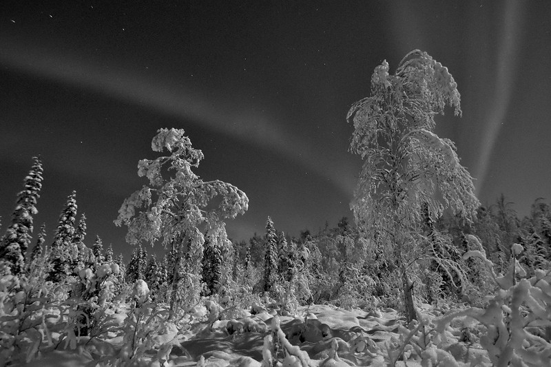 Birch trees draped in snow and a light aurora in the sky.