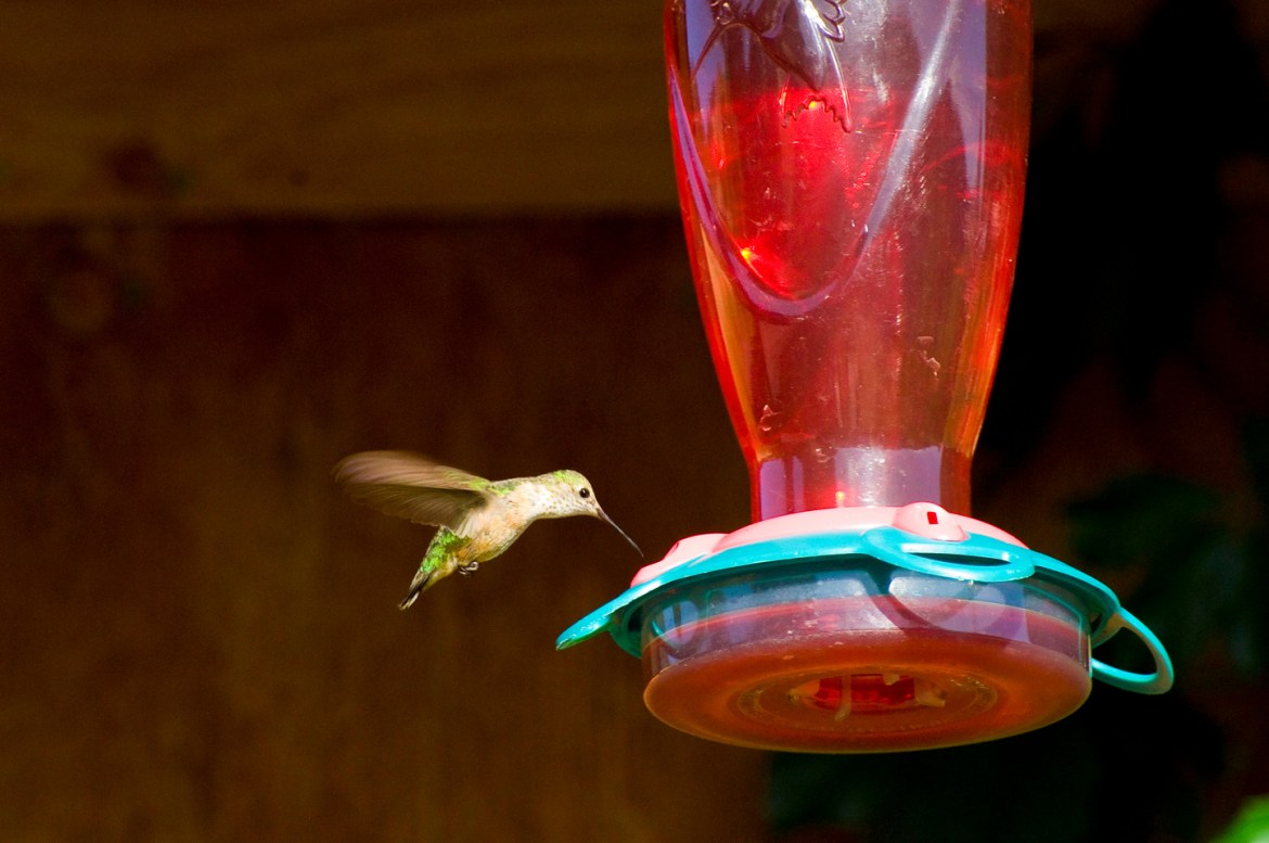 Best Stock Photo Sites: A hummingbird flies to drink from a red feeder.  The bird's colorful wings contrast against a dark background in the mountains of Idaho, USA.
