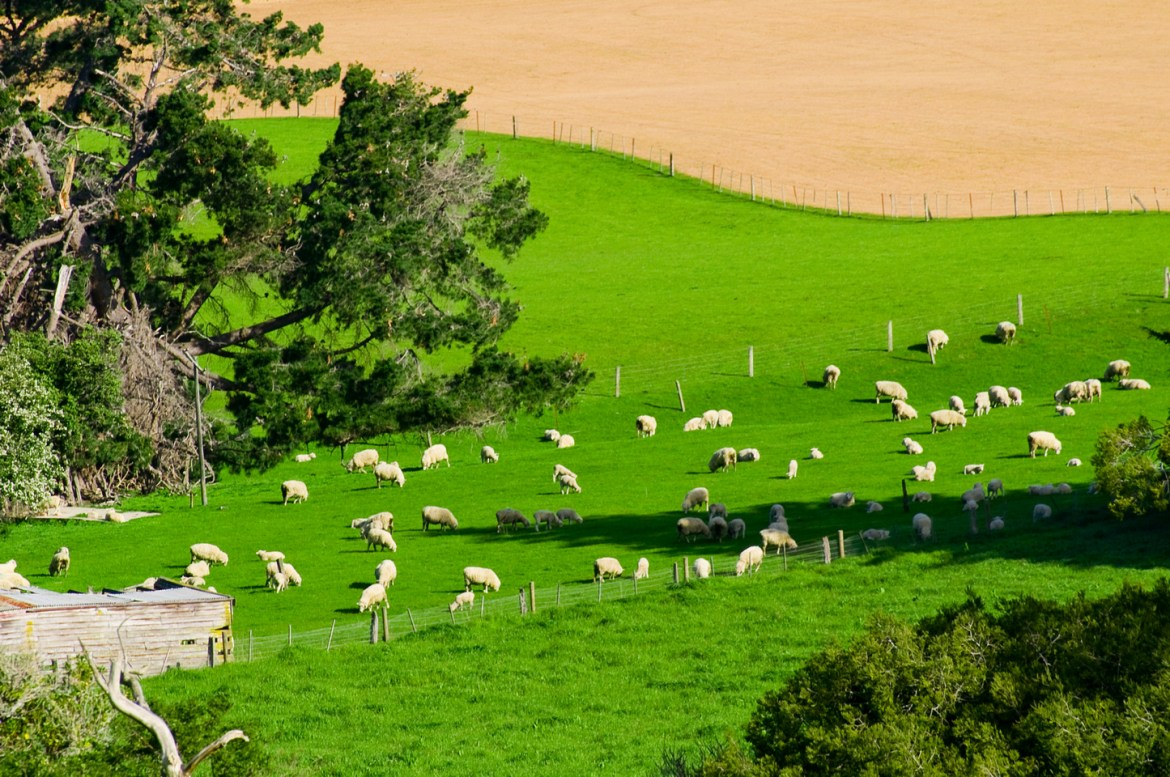 A wide-angle photo of sheep in a rural New Zealand paddock.