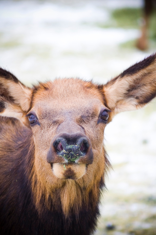 A young elk looks at the camera near Baker City, Oregon, USA, at a winter feeding station.