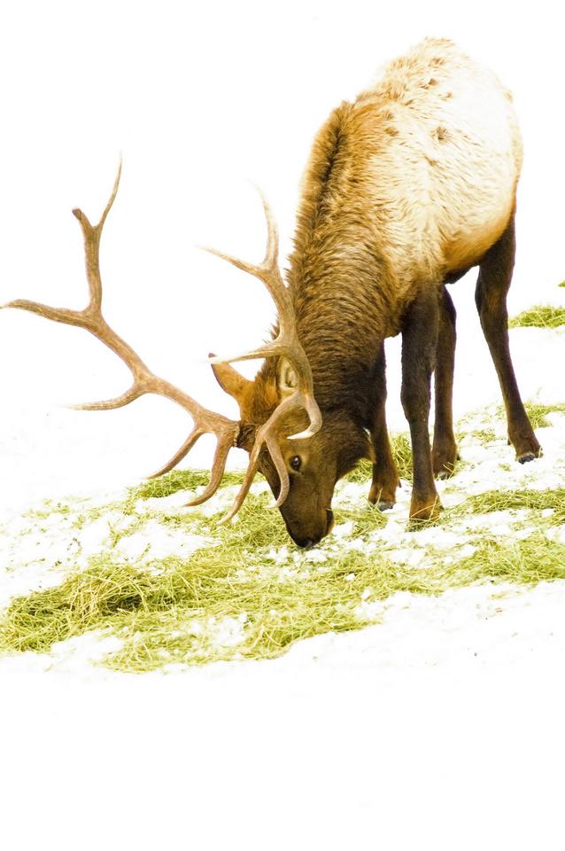 A mature elk eats feed lying on snow near Baker City, Oregon, USA, at a winter feeding station.