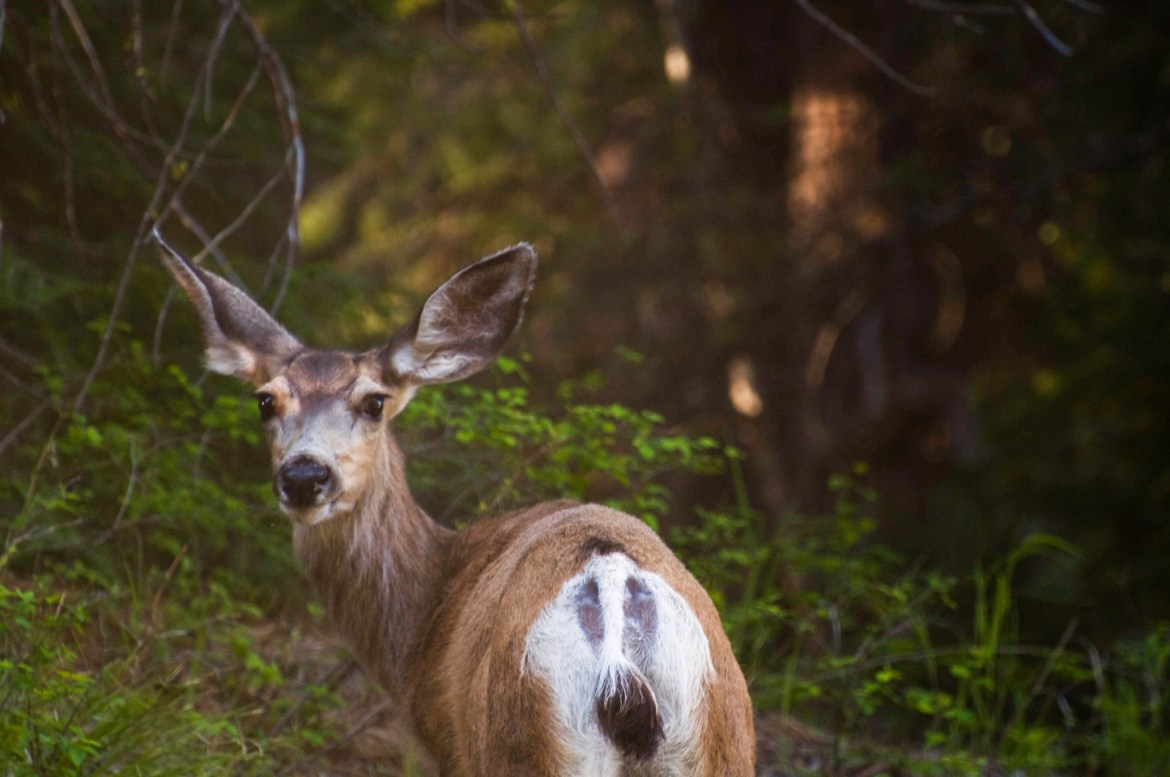 Cheap Stock Photos: Deer and Elk Images.  An adult deer stands in the evening sunlight and green grass in Oregon's Eagle Cap Wilderness.