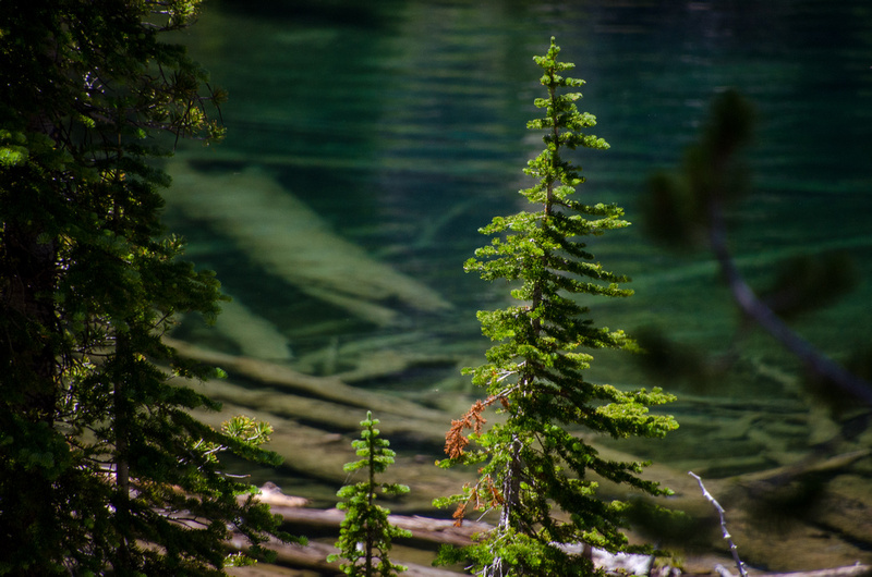 A vibrant green pine tree contrasts with the deep green hue of Baron Lake and fallen logs beneath the lake's surface, seen from the trail to Upper Baron Lake.
