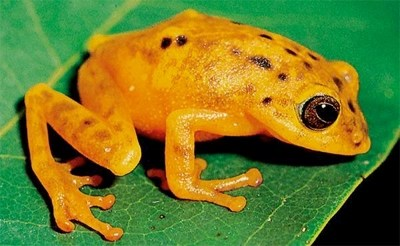 Philautus akroparallagi. Photo copyright S D Biju, (frogindia.org)