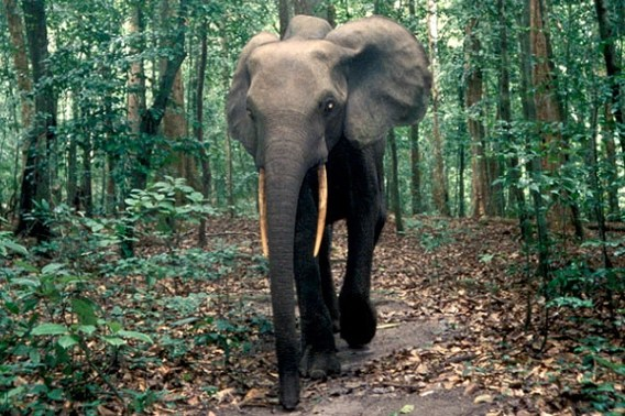 My favourite animal of all time. Elephants The Gardeners Of Asia S And Africa S Forests