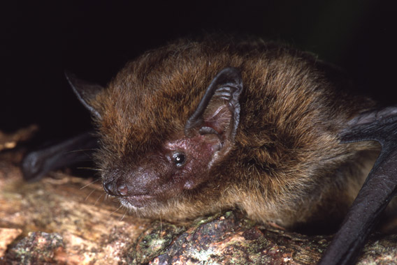 Now extinct: the Christmas Island pipistrelle. Photo by: Lindy Lumsden.