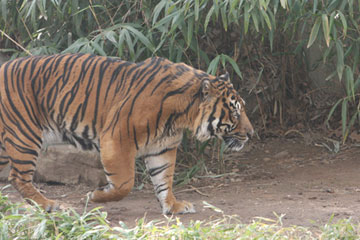 Captive Sumatran tiger. Photo by: Rhett A. Butler.
